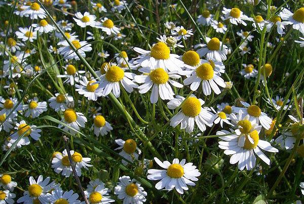 Когда краевые белые цветки опускаются вниз, на соцветии начинают появляться семена и плоды.