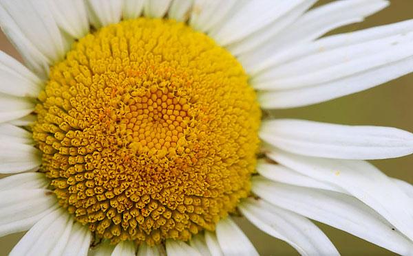 Каждая желтая трубочка, равно как и каждая белая краевая лопасть - это отдельные цветы.