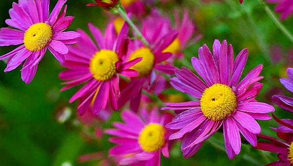 Для пиретрумов вообще характерны необычные цвета в окраске соцветий - красные, фиолетовые, оранжевые.