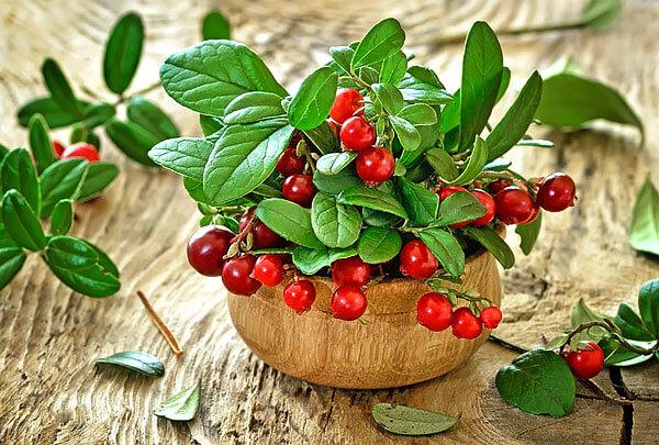 В ягодах брусники содержится большое количество витамина С, что позволяет использовать её для защиты от цинги.