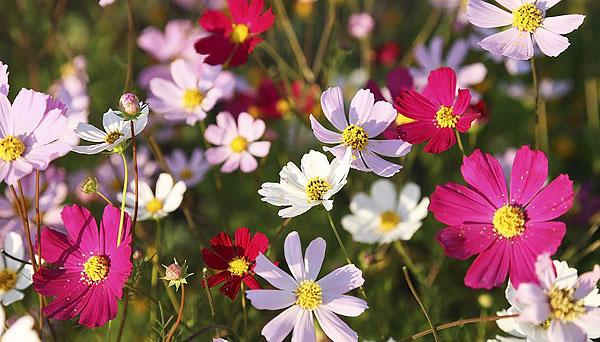 Пожалуй, мало кто спутает эти цветы с ромашками, хоть и назвать их правильно тоже сможет не каждый.