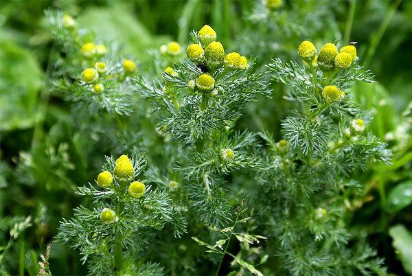 Помимо отсутствия язычковых цветков в соцветиях этот вид также отличается от ромашки аптечной более короткими цветоносами и густой листвой.