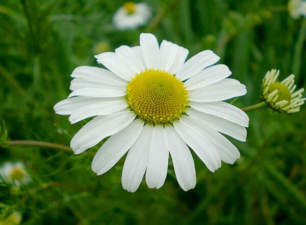 В итоге внутренние цветки выглядят, как тонкие трубочки и вовсе не похожи не цветки.