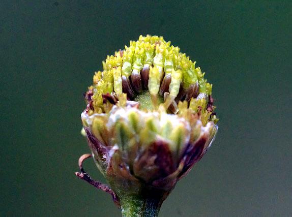 Пока верхние цветки ещё цветут, на месте нижних уже сформировались семена, а язычковые уже облетели.