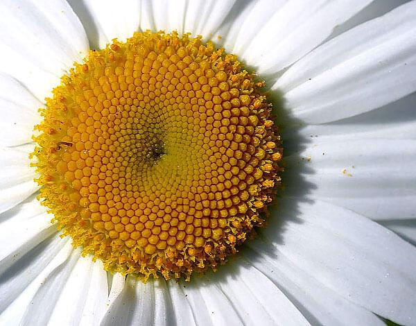 Трубчатые цветки по краям корзинки уже распустились, пока центральные все ещё закрыты.