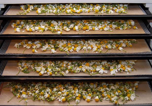 Для приготовления различных фармацевтических препаратов соцветия ромашки после сушки измельчают.
