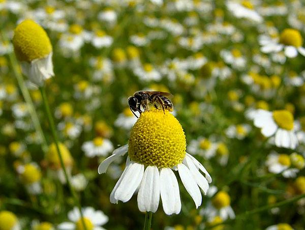 На месте краевых язычковых цветов семена не появляются.
