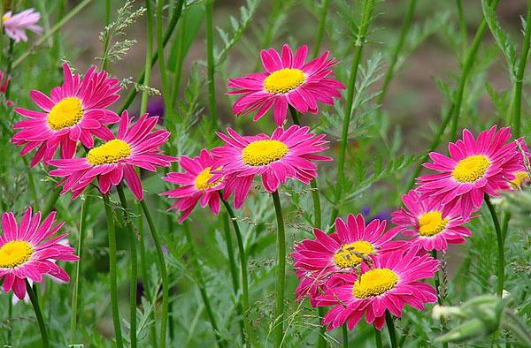 Типичные ромашки никогда не бывают розовыми, красными или синими.