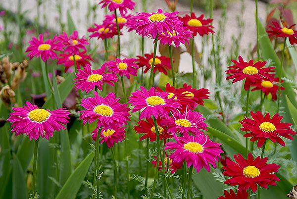 Оба вида считаются высокоэффективными инсектицидными растениями.