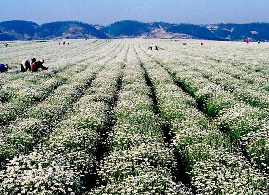 Такие плантации - основные поставщики пиретрума, эффективного инсектицидного средства.