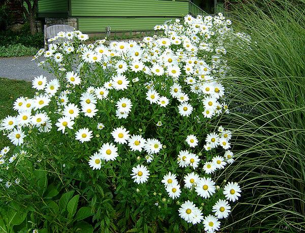 Отличить это растение от аптечных ромашек можно как по размерам соцветий, так и по форме листьев.