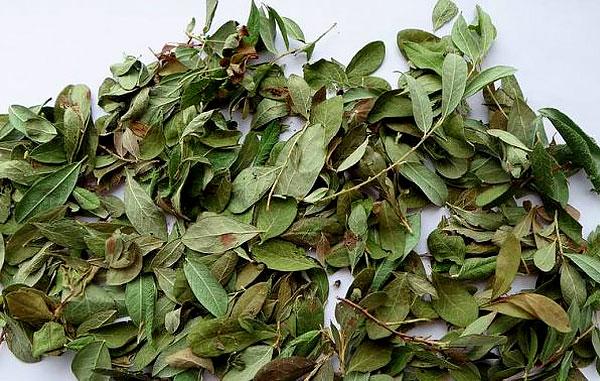 Более того, листья брусники могут быть противопоказаны даже при тех болезнях, при которых их иногда используют.
