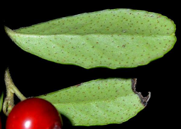 Эти точки представляют собой специальные образования, позволяющие листьям брусники активно впитывать влагу.