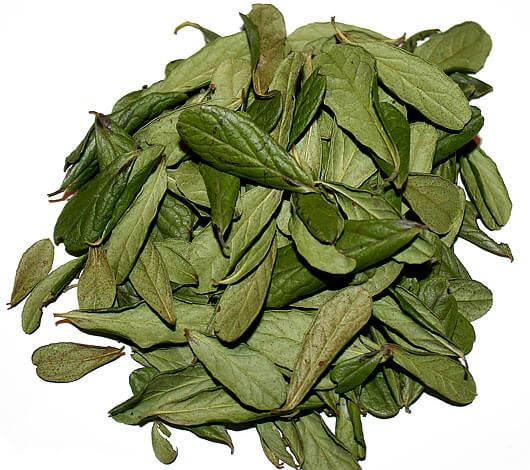 От листьев толокнянки брусничные отличаются наличием черных точек на нижней стороне.