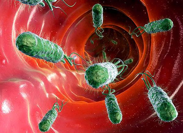 Антисептическое действие ягод брусники проявляется значительно сильнее, чем способность их эвакуировать ещё живых бактерий из организма.