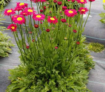 Персидская ромашка, её применение и выращивание