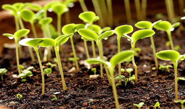 На ранних этапах развития растению требуется большое количество воды.