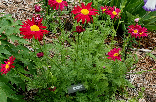 Разные сорта персидской ромашки могут различаться оттенком лепестков.
