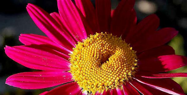 """""""Цветок"""" ромашки - на самом деле совокупность трубчатых цветков и боковых язычковых."""