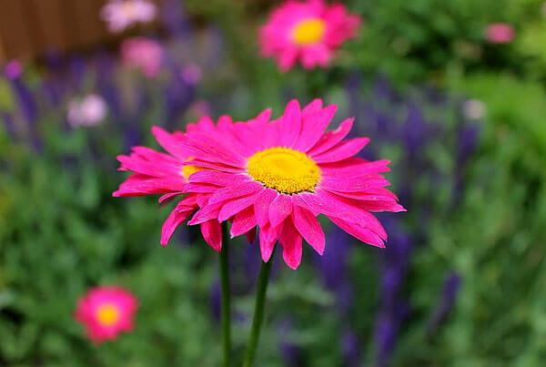 Главное отличие этого соцветия от соцветия ромашки аптечной - розовый цвет язычковых цветков.