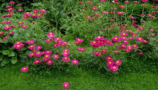 У диких форм растения цветоносы невелики, а листья могут находиться на высоте до 40 см над уровнем земли.