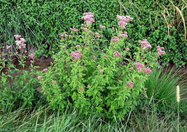 Стебли посконника облиствленны практически по всей длине, а у валерианы побег голых, выходящий из приземистой розетки листьев.