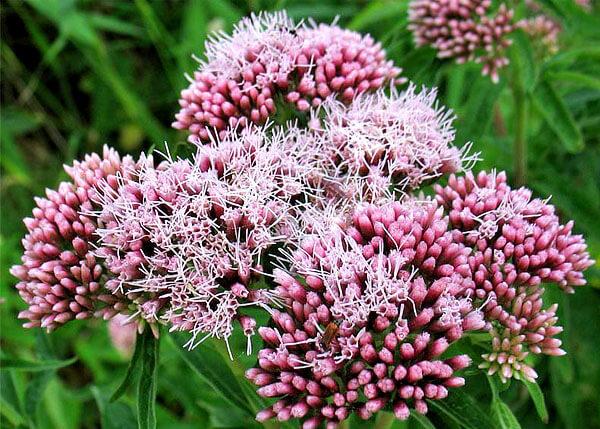 Именно розовый цвет цветов однозначно отличает посконник от валерианы.