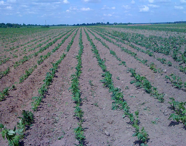 Урожай корней валерианы можно получить уже на следующий год после посева семян.