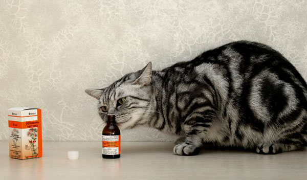 Интересно, что маленьких котят и примерно 5% взрослых кошек и котов валериана совершенно не привлекает.