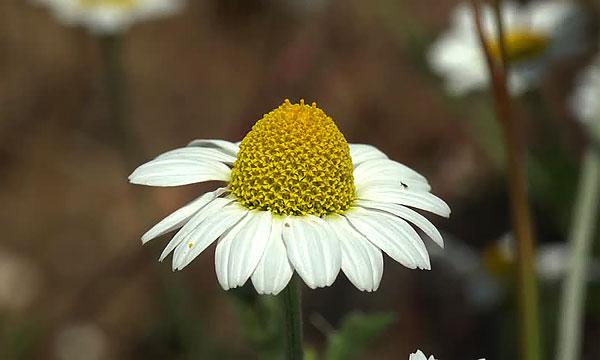 Уже через несколько дней белые цветки начнут опадать, а на месте желтых появятся мягкие семена.