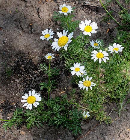 Этот вид считается сорняком и в медицине не применяется.