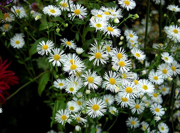 Интересно, что даже научное название этого растения подразумевает именование краевых цветков лепестками.