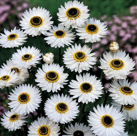 Несколько оттенков в окраске срединных цветков создают пестроту соцветия.