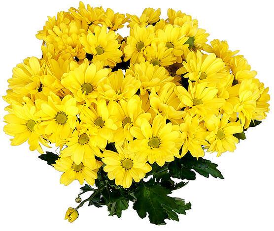 При этом диаметр соцветия у них в 3-4 раза больше диаметра соцветий ромашки аптечной.