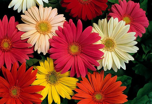 У гербер краевые цветки могут располагаться в два ряда.