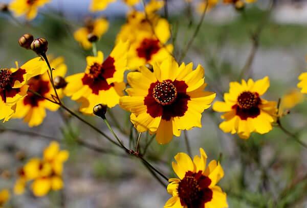 Также если присмотреться, можно увидеть, что краевые цветки находятся намного ниже срединных.