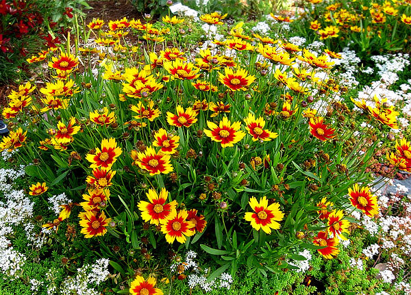 Эти растения легче отличить от ромашки, чем спутать с нею.