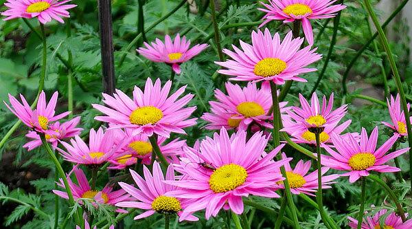 В соцветиях этого растения содержится большое количество натуральных инсектицидов.