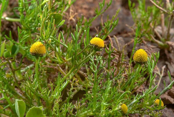 Её близкая родственница, ромашка зеленая, также не имеет краевых цветков, но её трубчатые цветки имеют зеленый цвет.
