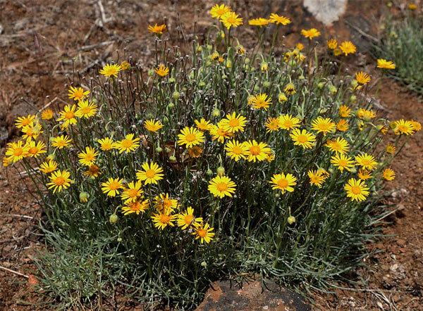 Это растение отличается небольшой высотой и компактностью кустов.