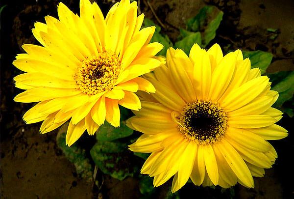 Именно размеры, цвет и несколько рядов краевых цветков отличают эти растения от истинных ромашек.