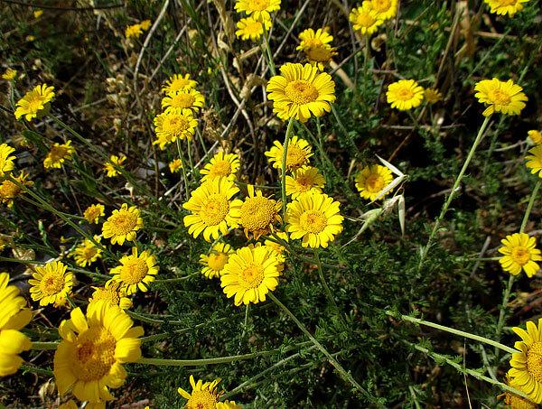 У истинных ромашек всего один ряд краевых цветков.