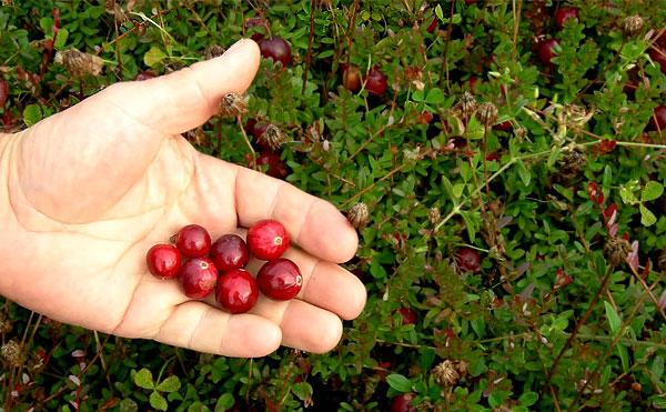 Её ягоды мало того, что более крупные, но и имеют специфическую окраску и форму.
