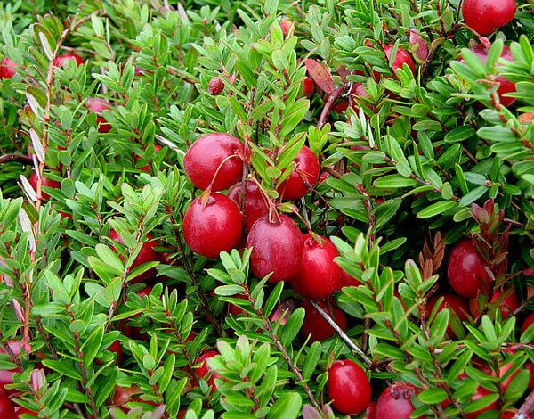 У клюквы же у каждой ягоды есть свой стебелек.
