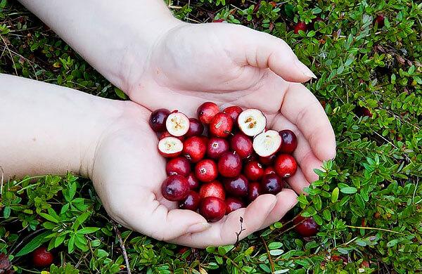 Крупные ягоды клюквы имеют размер мелкой сливы.