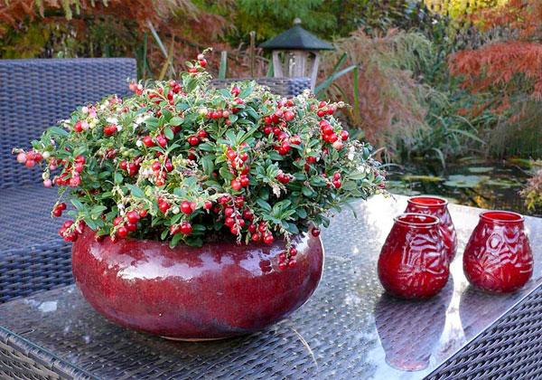 Красные ягоды на таких кустах смотрятся, как маленькие цветы.