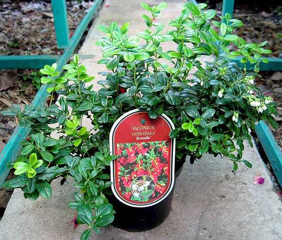 Этот сорт характеризуется средней высотой куста и плодоношением 2 раза в год.