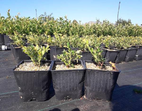 При хорошем уходе кусты благополучно могут расти и в таких горшках, однако почва здесь может очень быстро пересыхать.