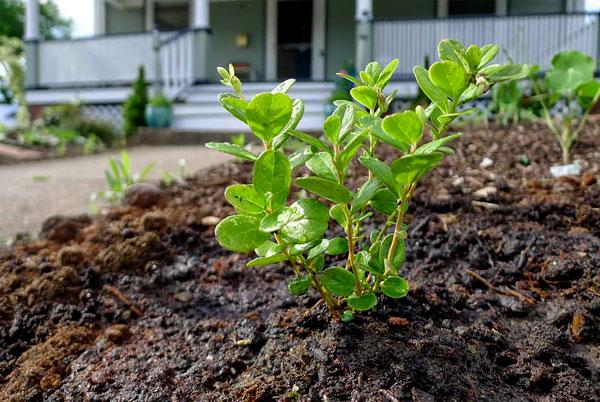 Морозы наиболее опасны для корней растения.