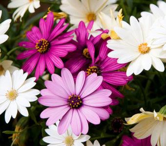 Как правильно называются цветные и разноцветные ромашки
